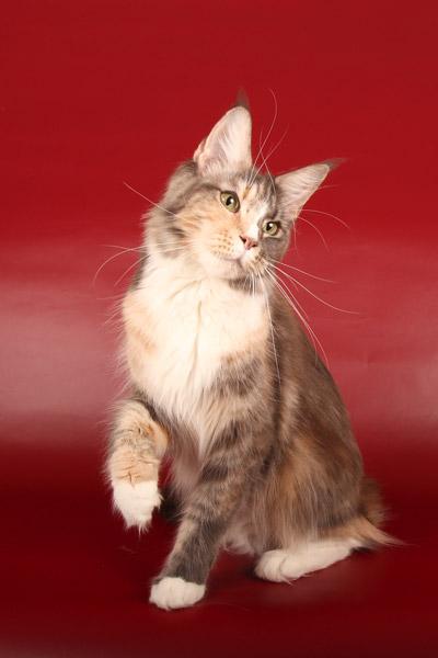 фото кошек мейн куна
