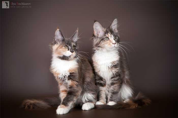 голубокремовая кошка мейн кун
