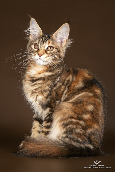 Котенок мейн кун девочка 4 месяца
