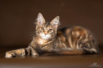 Котенок мейн кун девочка 5 месяцев