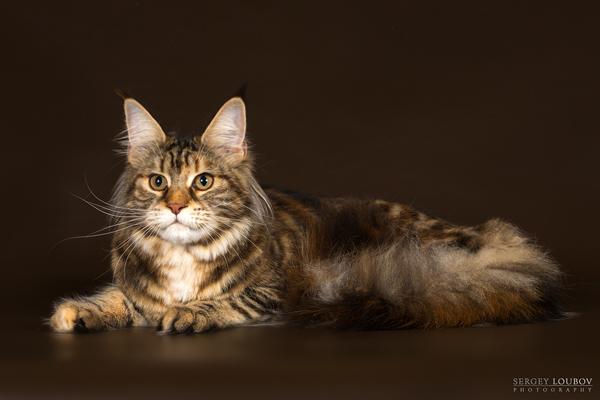 Кошечка мейн кун 10 месяцев