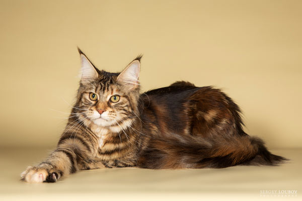 Породистые кошки Авакун