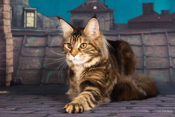 купить котят мейн куна в Екатеринбурге