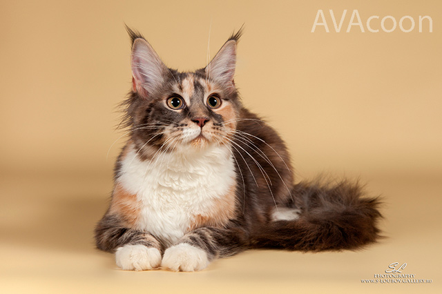 Кошка Оливия в питомнике  мейн-кунов в 7 месяцев