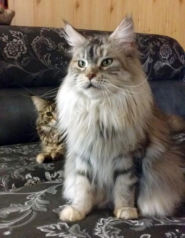 фото кошки мейн кун