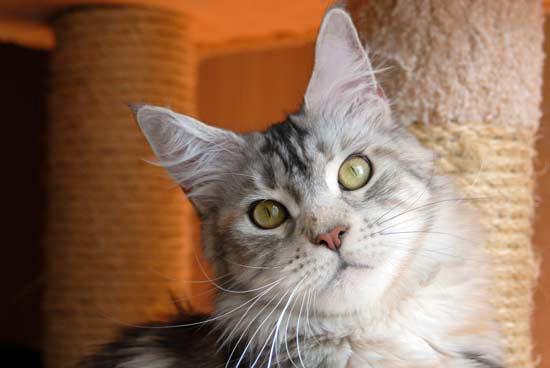 мейн кун кошка 7 месяцев