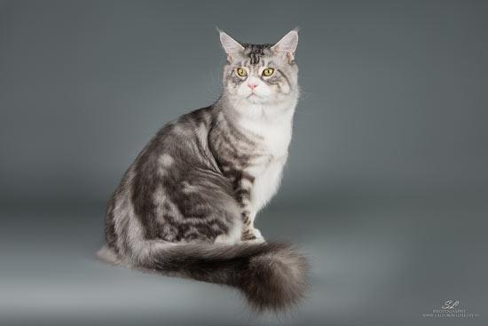 Большой серебристый кот