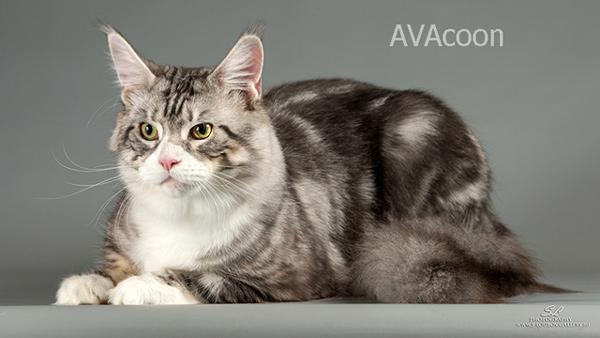 Аскабан, кот из питомника AVACOON