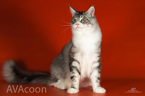 Биколор кот мейн кун серебристый в питомнике Авакун
