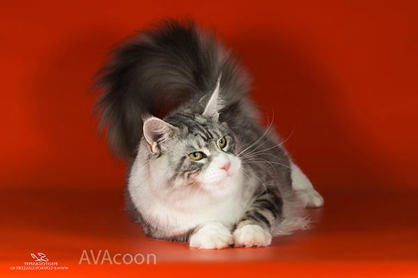 Серебристый кот из питомника Авакун