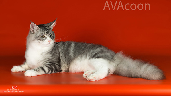 Крупный кот мейн кун Авакун