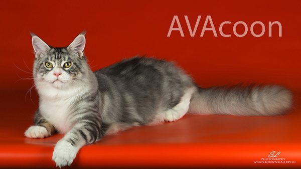 Серебристый кот мейн кун в питомнике AVACOON