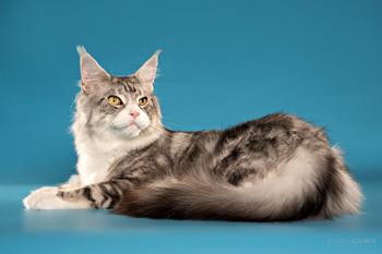 Тяжелый и красивый серебристый кот мейн кун из питомника Авакун