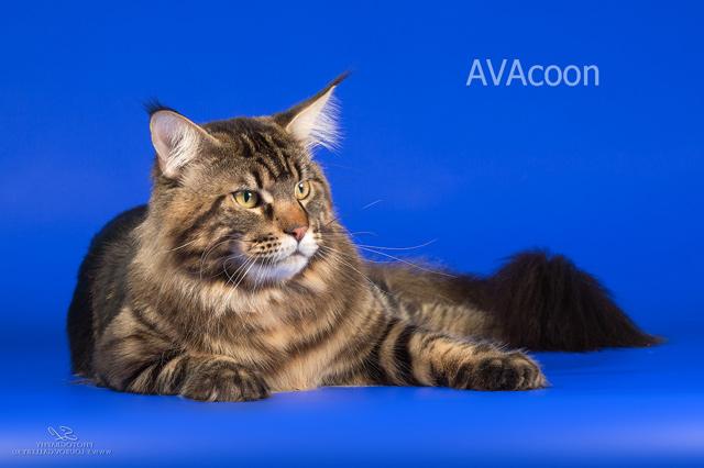 Мейн кун племенной кот