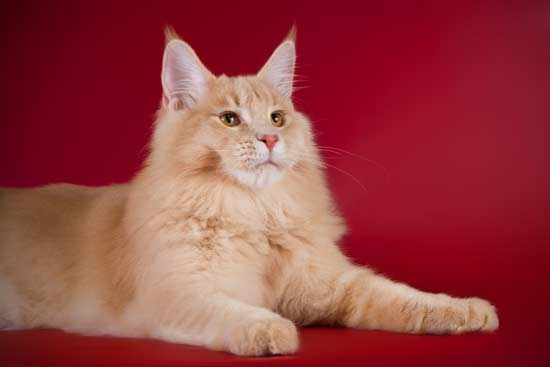 Лонан котик кремового окраса