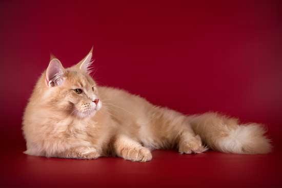 Кот кремового окраса