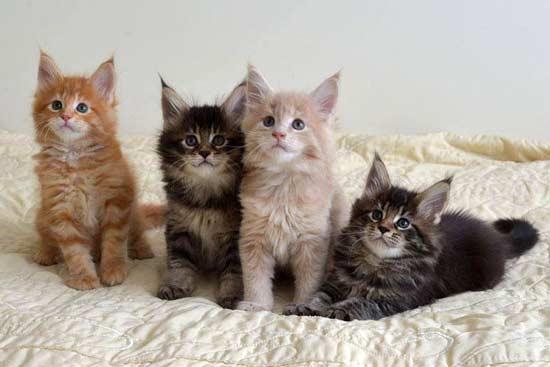 Тикированные котята мейн кун