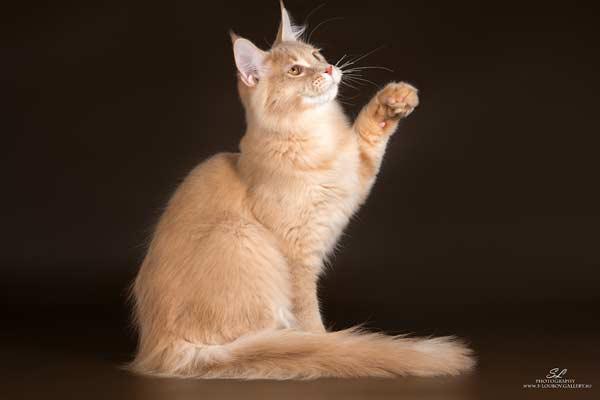 питомник мейн кунов с тикированными кошками