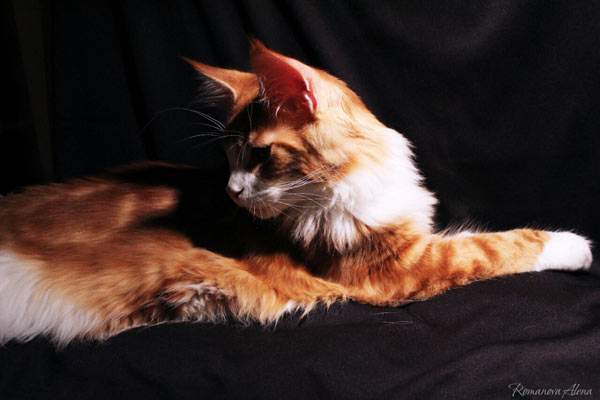 avacoon maine coon